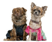 Chihuahua, 2 years old, dressed up and 1 year old, dressed up and sitting in front of white background — Stock Photo
