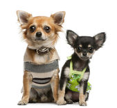 Chihuahua puppy, 2 months old and 1 year old, dressed up and sitting in front of white background — Stock Photo