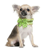 Chihuahua puppy, 6 months old, dressed up and sitting in front of white background — Stock Photo