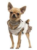 Chihuahua, 14 maanden oud, aangekleed en staande voor witte achtergrond — Stockfoto