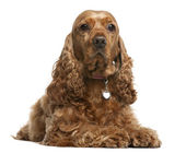 English Cocker Spaniel, 5 years old, lying in front of white background — Stock Photo