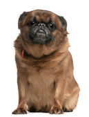 Griffon Bruxellois, 10 years old, sitting in front of white background — Stock Photo