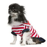 Chihuahua, 3 years old, dressed up and sitting in front of white background — Stock Photo