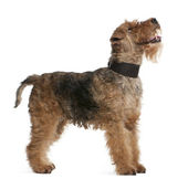 Welsh Terrier, 7 years old, standing in front of white background — Stock Photo