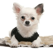 Chihuahua puppy, 2 months old, dressed up and sitting in front of white background — Stok fotoğraf