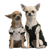 Chihuahua, 2 years old and 1 year old, dressed up and sitting in front of white background — Stock Photo