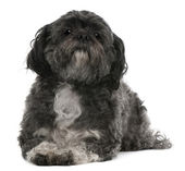 Shih Tzu, 6 years old, lying in front of white background — Stock Photo