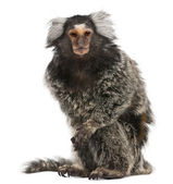 Common Marmoset, Callithrix jacchus, 2 years old, in front of white background — Stock Photo