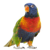 Rainbow Lorikeet, Trichoglossus haematodus, 3 years old, standing in front of white background — Stock Photo