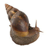 Giant African land snail, Achatina fulica, 5 months old, in front of white background — Stock Photo