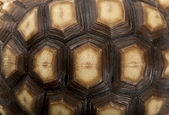 Close-up of African Spurred Tortoise shell, Geochelone sulcata, 1 year old — Stock Photo