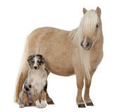 Palomino Shetland pony, Equus caballus, 3 years old, standing in front of white background — Stock Photo