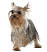 Yorkshire Terrier, 1 year old, standing in front of white background — Stock Photo