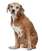 Old Mixed-breed dog, 13 years old, sitting in front of white background — Stock Photo