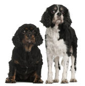 Cavalier King Charles Spaniels, 9 and 7 years old, in front of white background — Stock Photo