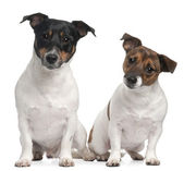 Jack Russell Terriers ( 4 and 2 years old) — Stock Photo
