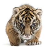 Sumatran Tiger cub, Panthera tigris sumatrae, 3 weeks old, in front of white background — Stock Photo