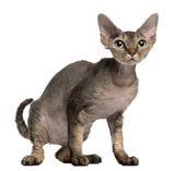 Devon Rex cat, 2 years old, sitting in front of white background — Zdjęcie stockowe