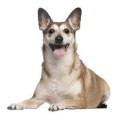 Mixed-breed dog, 10 years old, lying in front of white background — Stock Photo