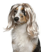 Australian Shepherd puppy wearing a wig, 5 months old, in front of white background — Stock Photo