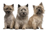 Cairn Terriers, 12 and 2 years old, sitting in front of white background — Stock Photo