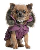 吉娃娃小狗穿着紫色连帽外套,6 个月大,坐在白色背景前 — 图库照片