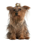 Yorkshire Terrier, 14 years old, sitting in front of white background — Stock Photo