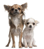 Chihuahuas, 16 and 12 months old, in front of white background — Stock Photo