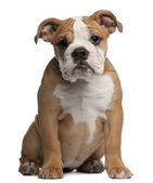 English Bulldog puppy, 4 months old, sitting in front of white background — Stock Photo