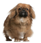 Pekingese, 8 months old, standing in front of white background — Stock Photo