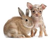 Beyaz arka plan önünde bir tavşan ile chihuahua — Stok fotoğraf
