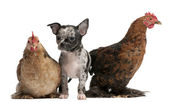 Chihuahua puppy interacting with a hens in front of white background — Stock Photo