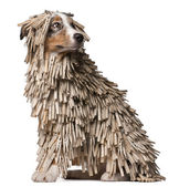 Australian Shepherd puppy covered with Clothespins, 5 months old, sitting in front of white background — Stock Photo