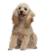 Poodle, 9 years old, sitting in front of white background — Stock Photo