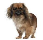 Pekingese, 2 and a half years old, standing in front of white background — Stock Photo