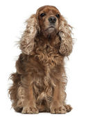 English Cocker Spaniel with windblown hair, 8 years old, sitting in front of white background — Stock Photo