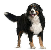 Bernese mountain dog, 4 years old, standing in front of white background — Stock Photo