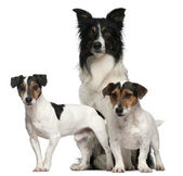 Border Collie and Jack Russells, 7, 5, and 3 years old, in front of white background — Stock Photo