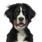 Bernese Mountain Dog, 5 months old, in front of white background — Stock Photo