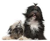 Tibetan Terriers with windblown hair, 2 and a half years old and 1 year old, in front of white background — Stock Photo