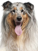 Close-up of Shetland Sheepdog with tongue out, 1 year old, in front of white background — Stock Photo