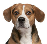Close-up of Beagle, 3 years old, in front of white background — Stock Photo