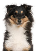 Close-up of Shetland Sheepdog puppy, 6 months old, in front of white background — Stock Photo