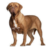 Dogue de Bordeaux, 7 years old, standing in front of white background — Stock Photo