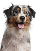 Close-up of Australian Shepherd dog, 1 year old, in front of white background — Stock Photo