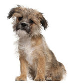 Mixed-breed puppy, 3 months old, sitting in front of white background — Stock Photo