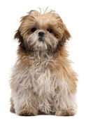 Shih-tzu puppy, 6 months old, sitting in front of white background — Stock Photo