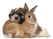 Shih-Tzu and rabbit in front of white background — Stock Photo