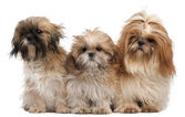 Three Shih-tzus in front of white background — Stock Photo