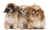 Three Shih-tzus with windblown hair in front of white background — Stock Photo